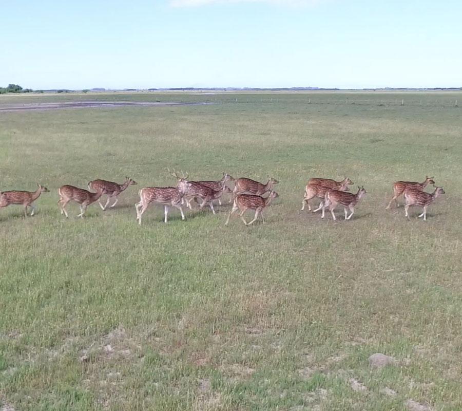 Ciervos en Buenos Aires