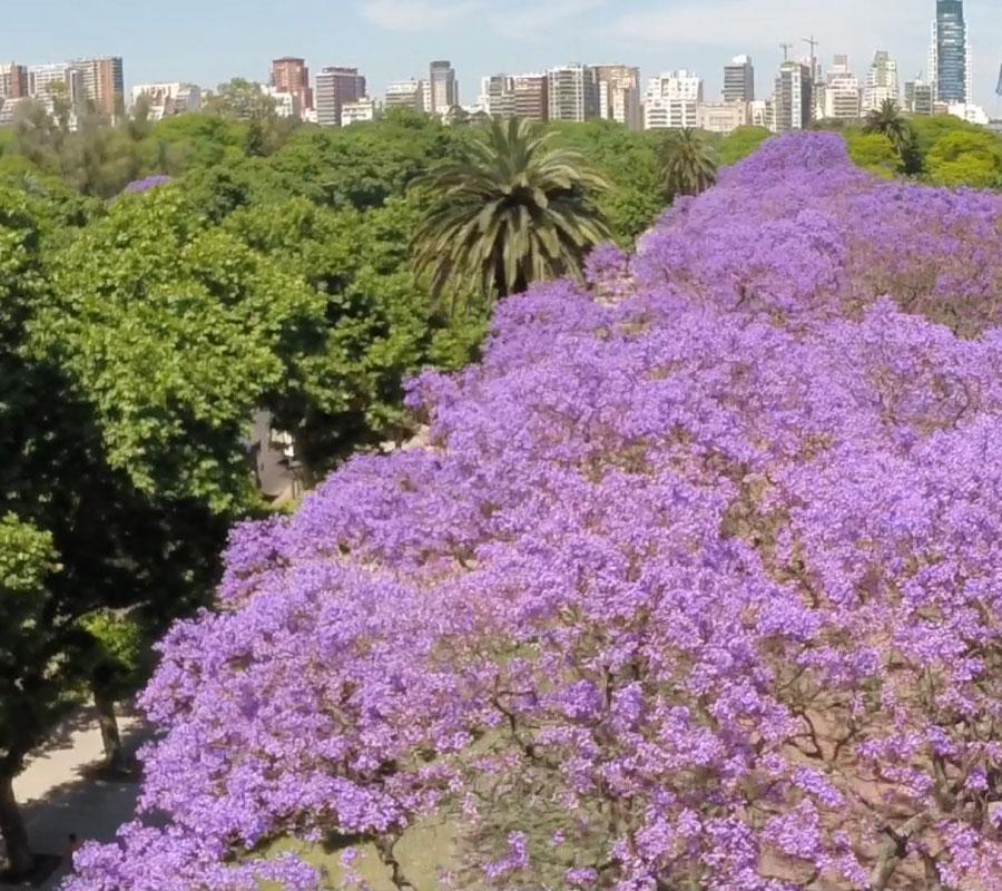 Jacarandás de Buenos Aires